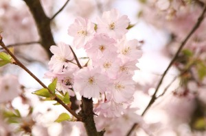 ornamental-cherry-415983_1280